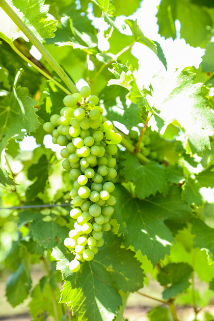 Engagement photography: a bunch of ripe green grapes at a Virginia vineyard.