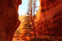 Tall narrow tree pressed between a deep canyon. Bryce Canyon National Park.