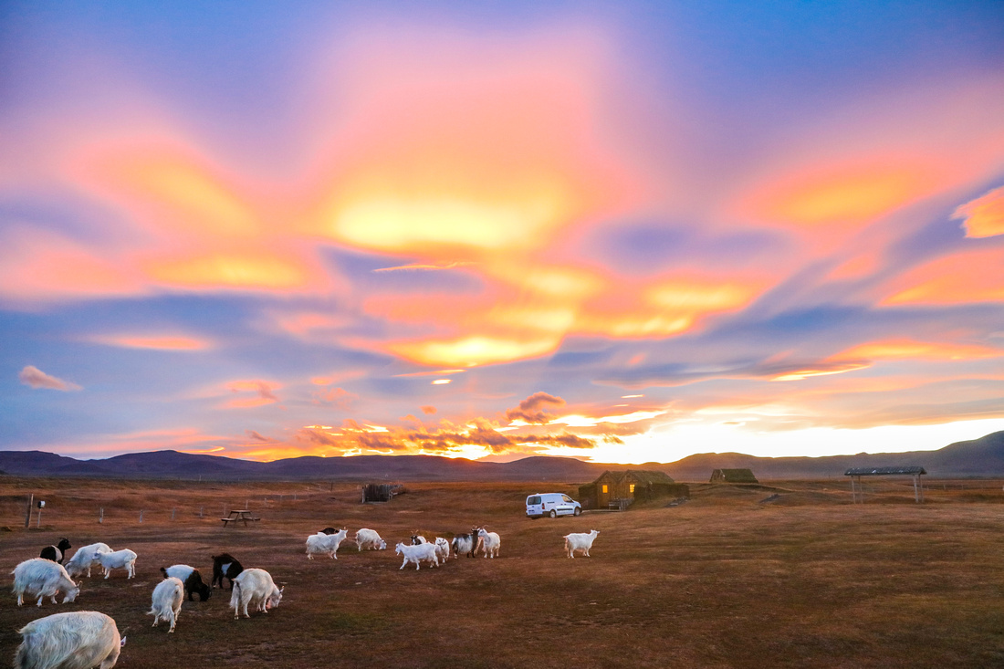 Yellow and pink sky look down over a barren field dotted wth white goats. Iceland. 2016 in photos.