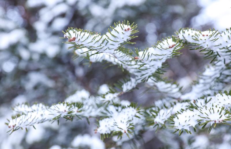 snow frozen on pine needles on Vermont tree