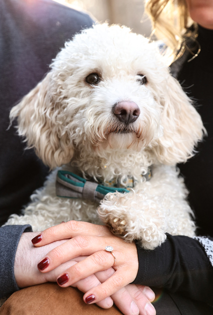 Engagement photography, a small white dog has his paw on the hands of his owners.